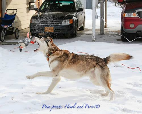 Kenai - A Straw for Dogs Success Story